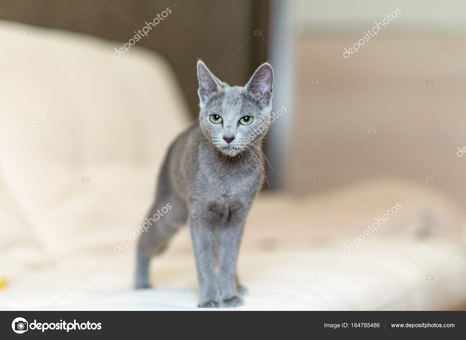 Młody Rasowy Kot Krajowego Rasa Rosyjski Niebieski Zdjęcie