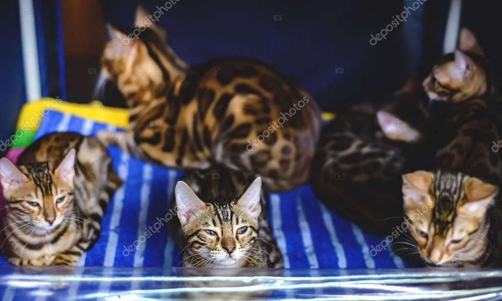 Coloriage Chat Tachete.Chats Tachetes De Coloriage Leopard Photographie Dizfoto C 173531096