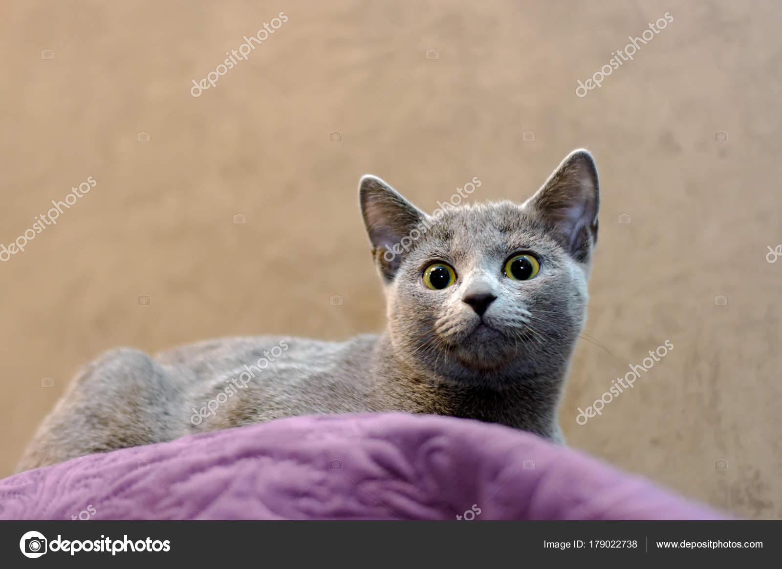 Kot Rasy Rosyjski Niebieski Leży Na Kanapie Zdjęcie Stockowe