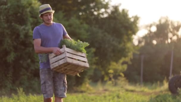 Farmer going on the field with wooden box of carrots and puts it on the ground.