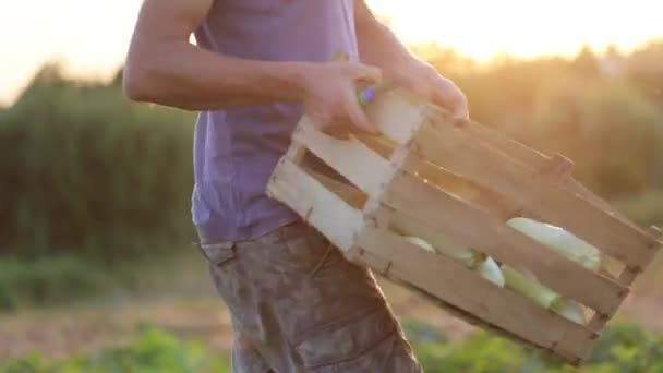 Farmer going on the field with wooden box of squash and puts it on the ground.