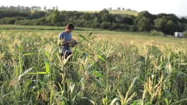 Young farmer collecting sweetcorn cobs on the corn fields at organic eco farm.