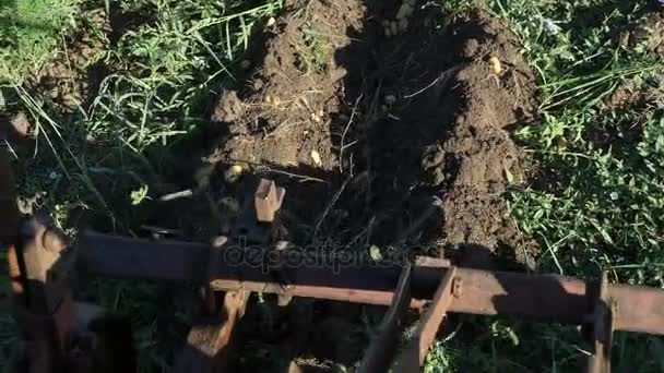 Potato digging process with using tractor.