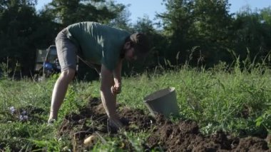 Young farmer harvesting potatoes in bucket on the field at organic farm
