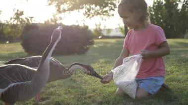 Cute little girl feeding wild geese at green summer meadow