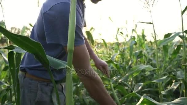 Mladý zemědělec kontrolu průběhu kukuřičné klasy růstu na poli ekologické farmy.