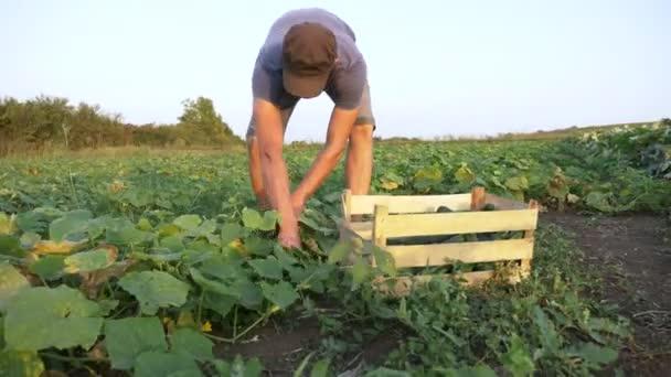 Bio-öko farm szedés uborka fiatal férfi farmer