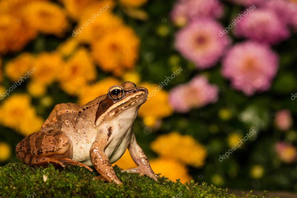 Wood Frog Close up