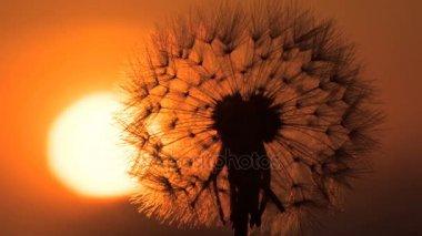 Východ slunce prostřednictvím nadýchané pampeliška. Timelapse