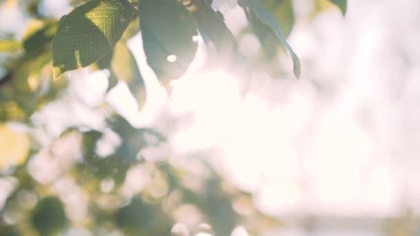 Třešeň ptačí strom v ranním slunci květiny