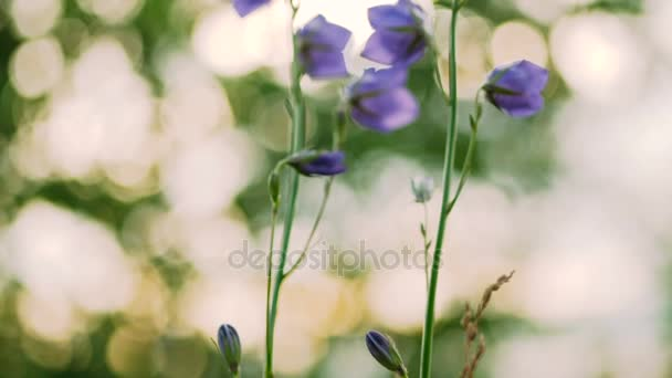 Blue Bell flowers early in the morning.