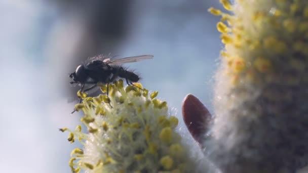Přírodní pramen pozadí. Fly sedí na kvetoucí kočička willow a je umýt. Makro