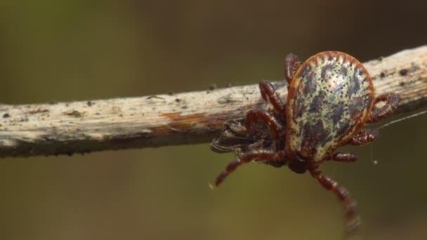 Mužské roztoč (Dermacentor marginatus) sedí na suché trávě. Makro záběry