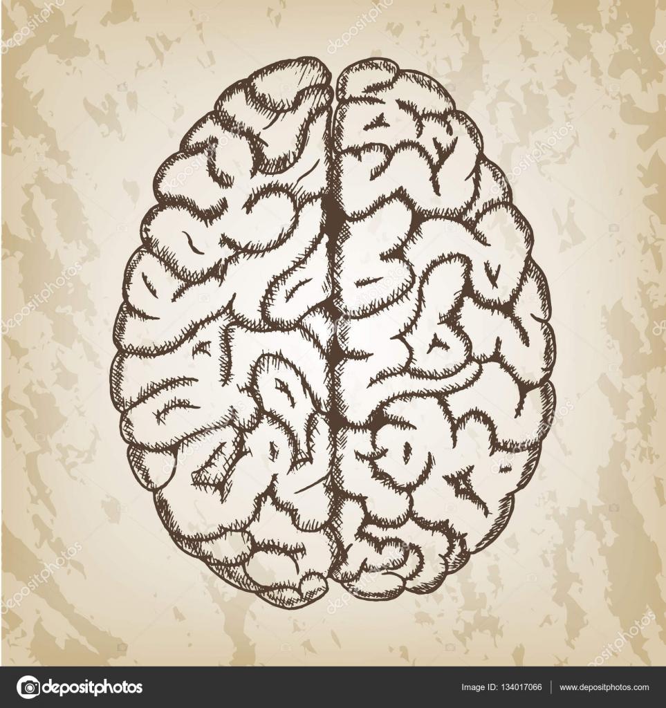 Hand gezeichnet Vektor-Illustration - menschliches Gehirn skizzieren ...