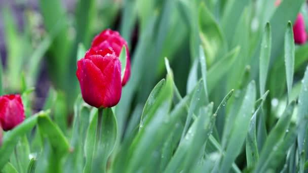 Gyönyörű vörös tulipán a háttér zöld levelek keveredik a szélben. Esik az eső. Ráesett egy tulipánra. Időintervallum.