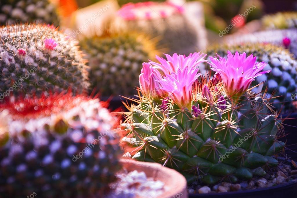 Mise au point sélective de lumière pourpre fleur de cactus dans le ...