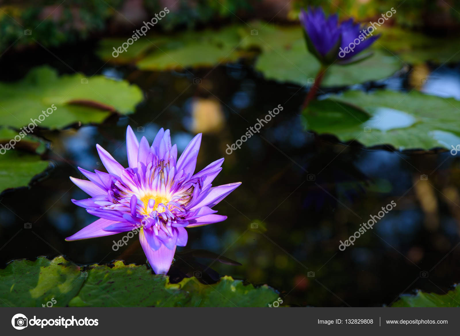 Beautiful light purple lotus flower with leaves in pool stock beautiful light purple lotus flower with leaves in pool on dark light and vintage tone with copy space photo by theerapong28 mightylinksfo