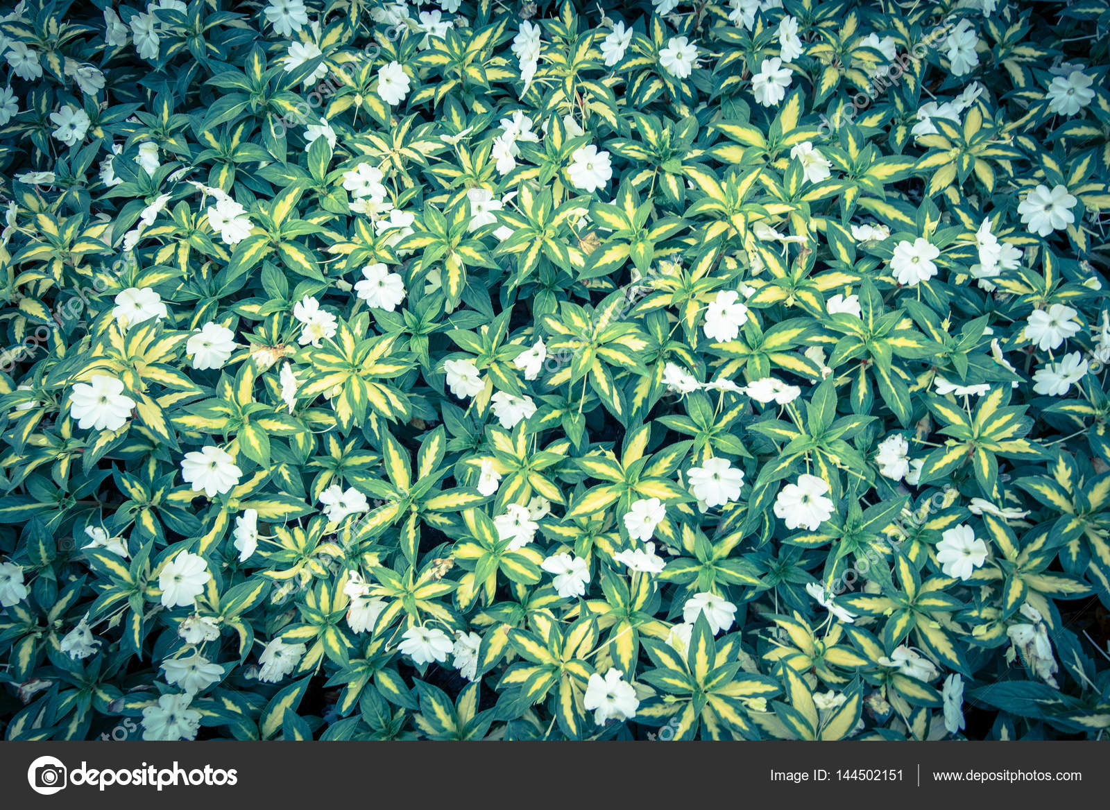 Top View Of Green Grass With Small White Flowers Background Stock