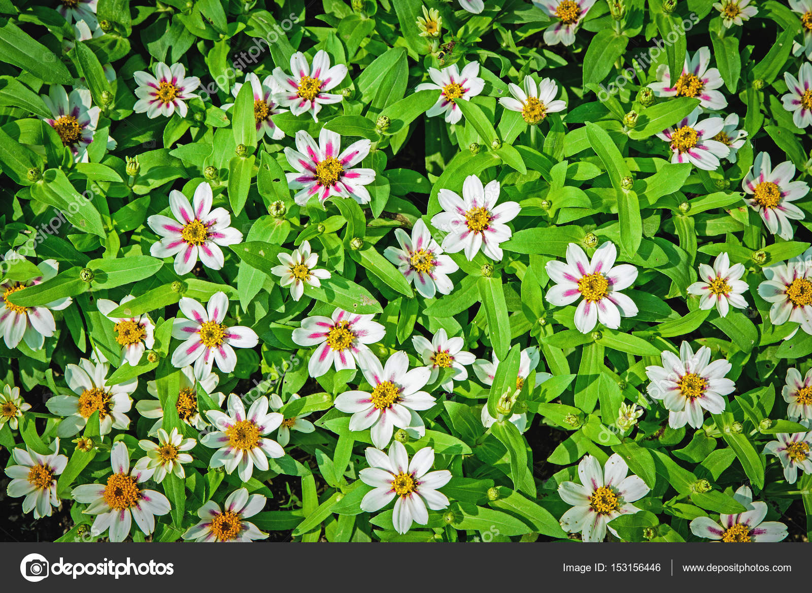 Pretty White Flowers Blooming In A Garden In Top View For Backgr