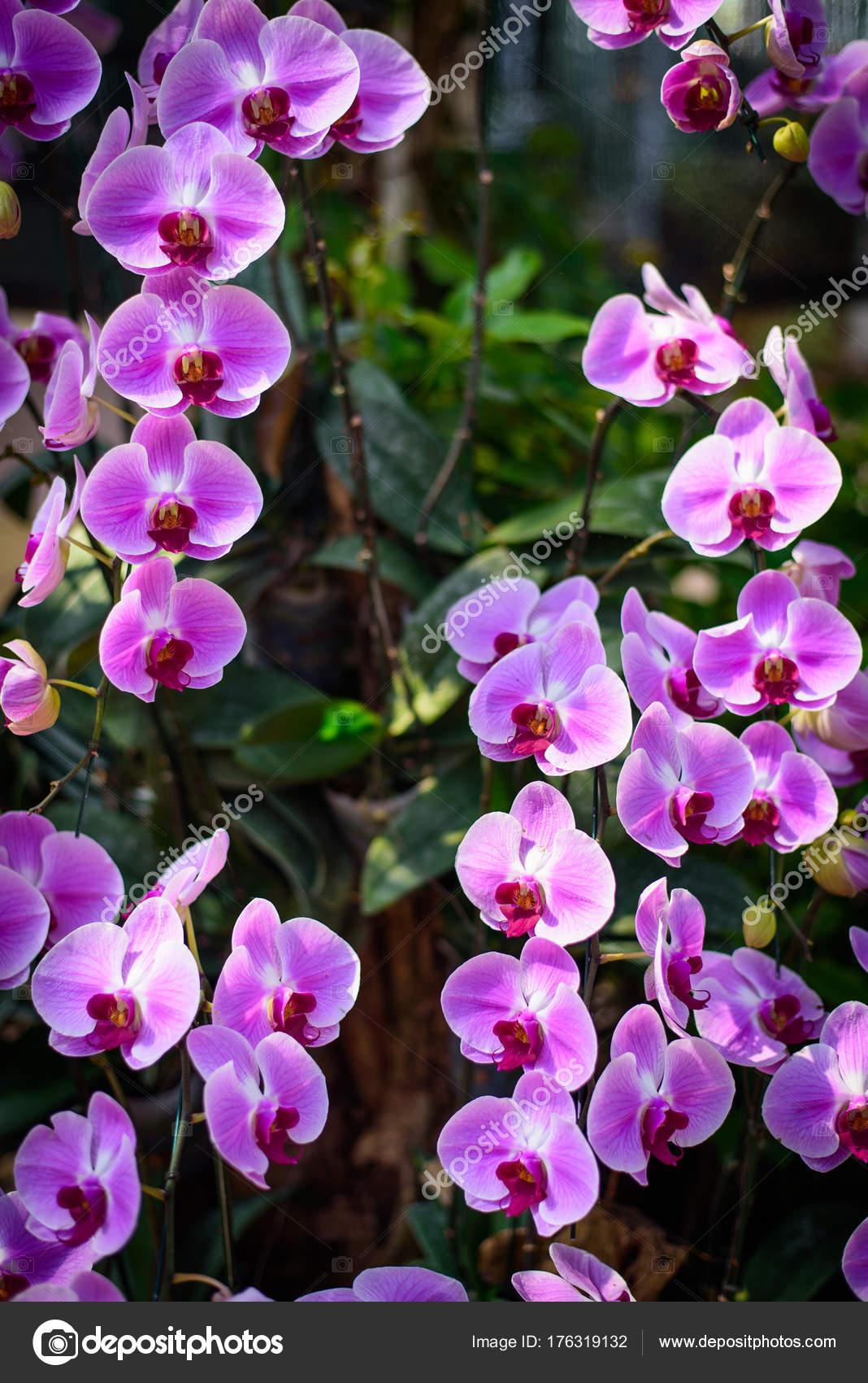 Beautiful Pink Phalaenopsis Orchid Flowersin Orchid Garden