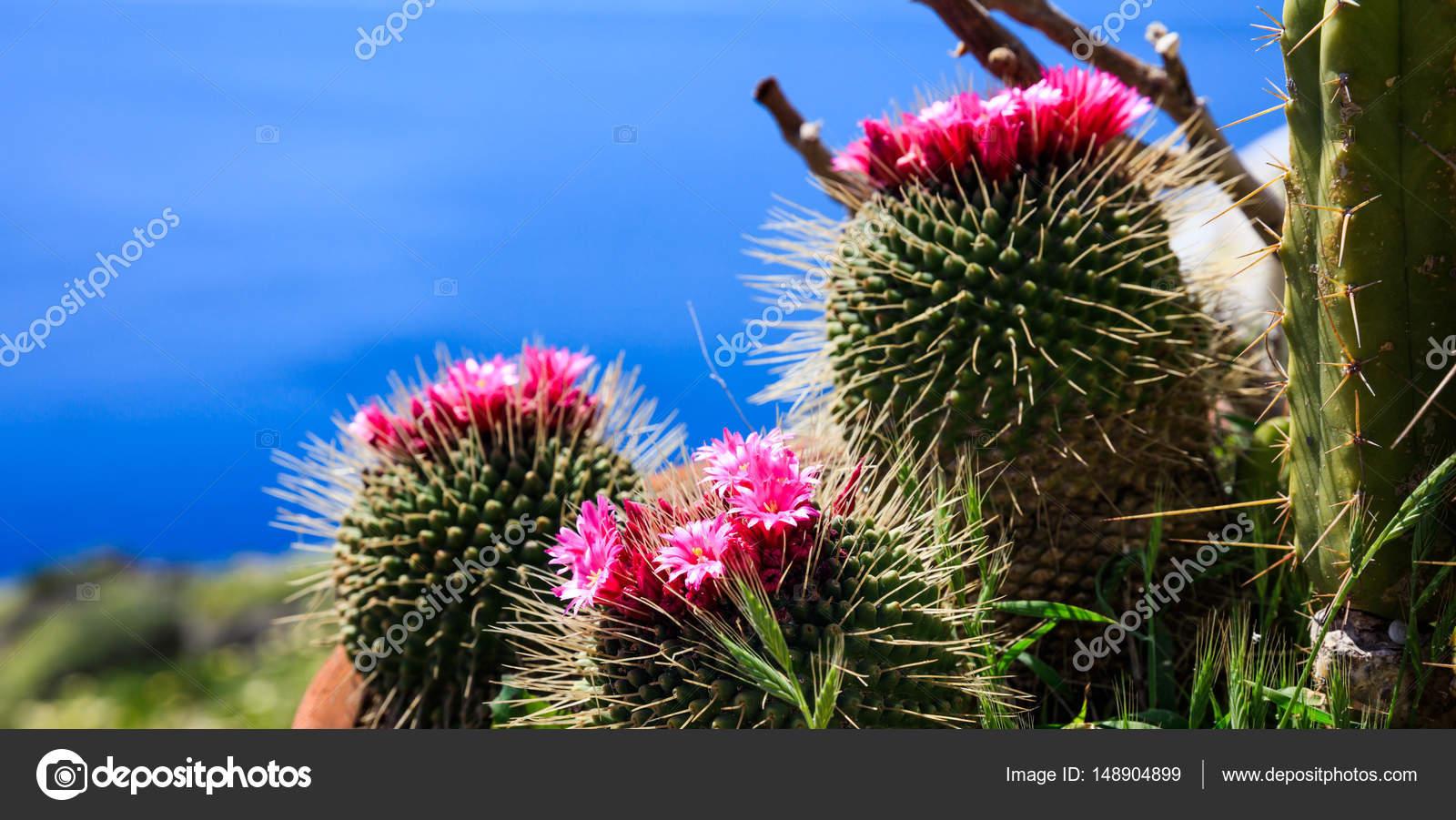 Cactus fleuri sur fond bleu — Photographie gioiak2 © #148904899