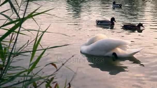 Swan bites a cane.