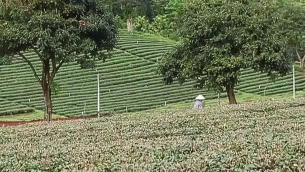 Člověk jde po čajové plantáže