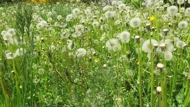 Swaying blowballs on green grass field Panning right. Fresh green background beautiful scene