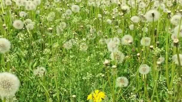 Dandelions meadow green grass background Dolly tripod.