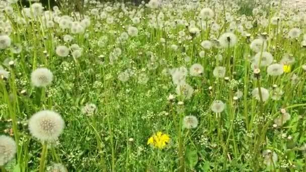 Pampelišky, foukané ve větru. Zelené trávě na jaře parku. Dolly Shot