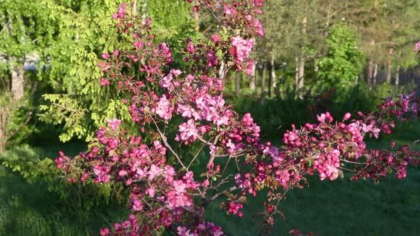 Apple tree květ květiny zvětšovacím dolly ještě střílet. Zahrada zelená pozadí