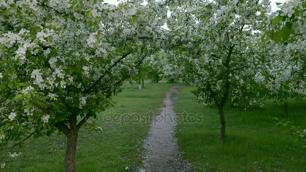 Green white branches blossom apple tree above path way springtime.