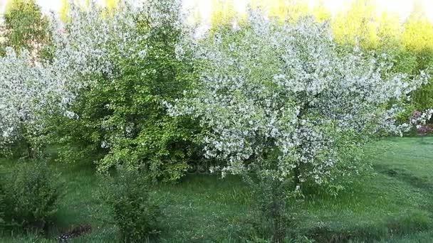 Keře trávy a bílý květ apple zahrada. Posouvání doleva s oddálit