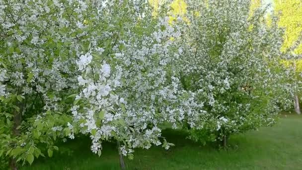 White flowers of blossom apple tree branches. Track in and track out camera movement.