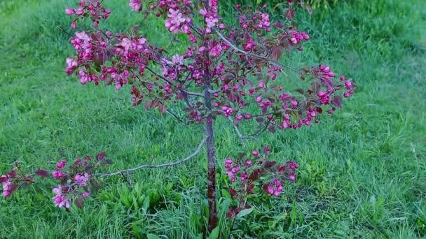 Fialovými květy květy jabloní v zahradě jarní. Kamera směrem dolů