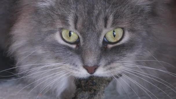 macska van az egér, a szájban