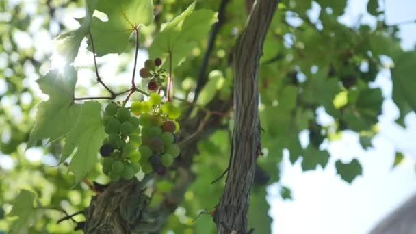 Csokor friss bio szőlő szőlő ágon.