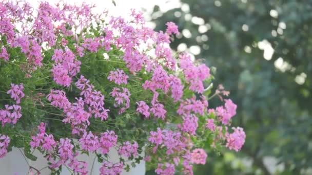 rózsaszín kozmosz virág