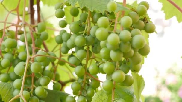hrozny se zelenými listy na vinici. čerstvé ovoce