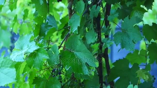 Vinné hrozny ve vinici na déšť, zblízka detail s Selektivní ostření
