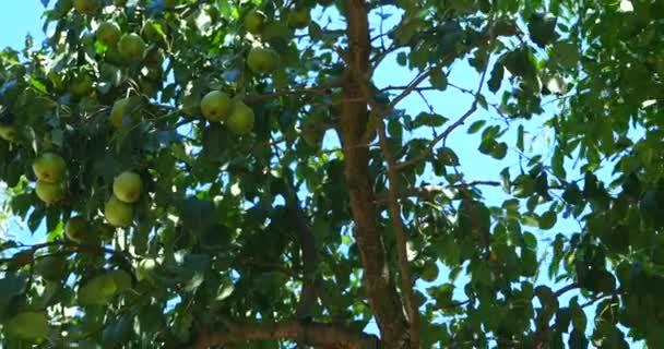 Zrát Bosc Hrušky na stromě