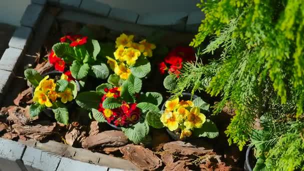 žluté a červené květiny v květináčích u jalovce na zemi