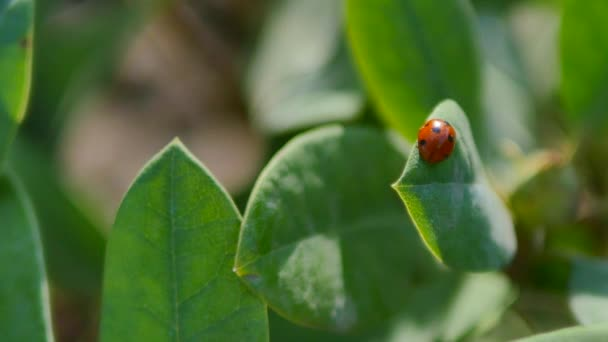 close up view of ladybird on the green leaves