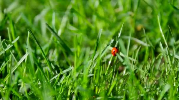 Červená Beruška a přídavný chyba na zelené trávě closeup