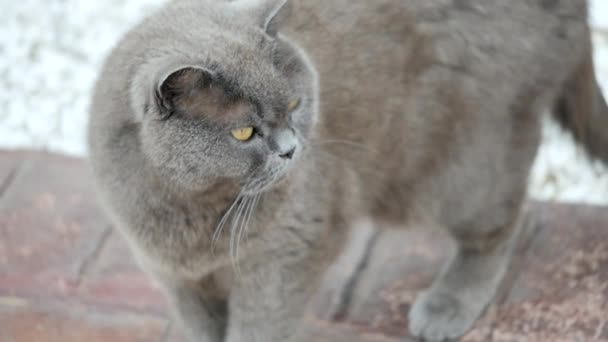 gatto grigio scozzese animale carino gatto dolce