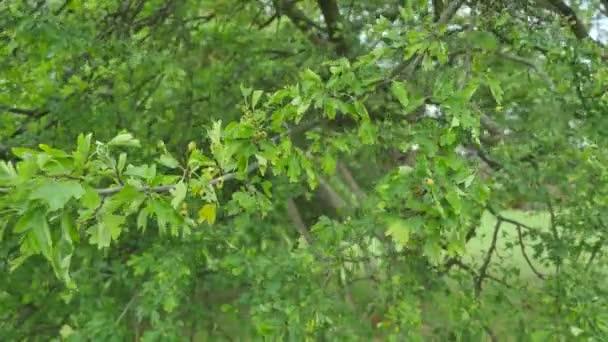 Hojas de color verde. Árbol de arce verde de verano hermoso en el ...