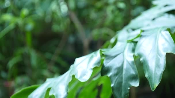 Green leaves of Monstera plant growing in wild, the tropical forest plant, Botanical Garden leaves