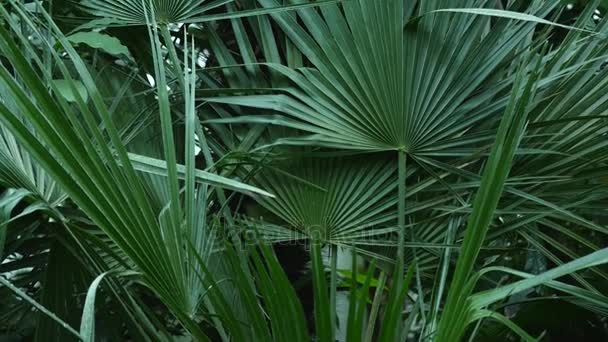 Big and long green leaves of the palm tree found inside a botanical garden along with other plants