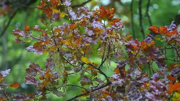 Tölgy őszi levelek, imbolygott a szélben