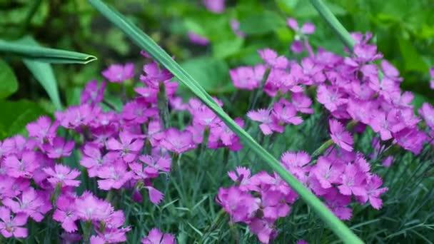 Krásné fialové květy, moss phlox, horská phlox, moss růžová, trpaslík phlox, phlox subulata, s třásněmi růžové, pozemní růžové, moss růžová, linanthus dianthiflorus